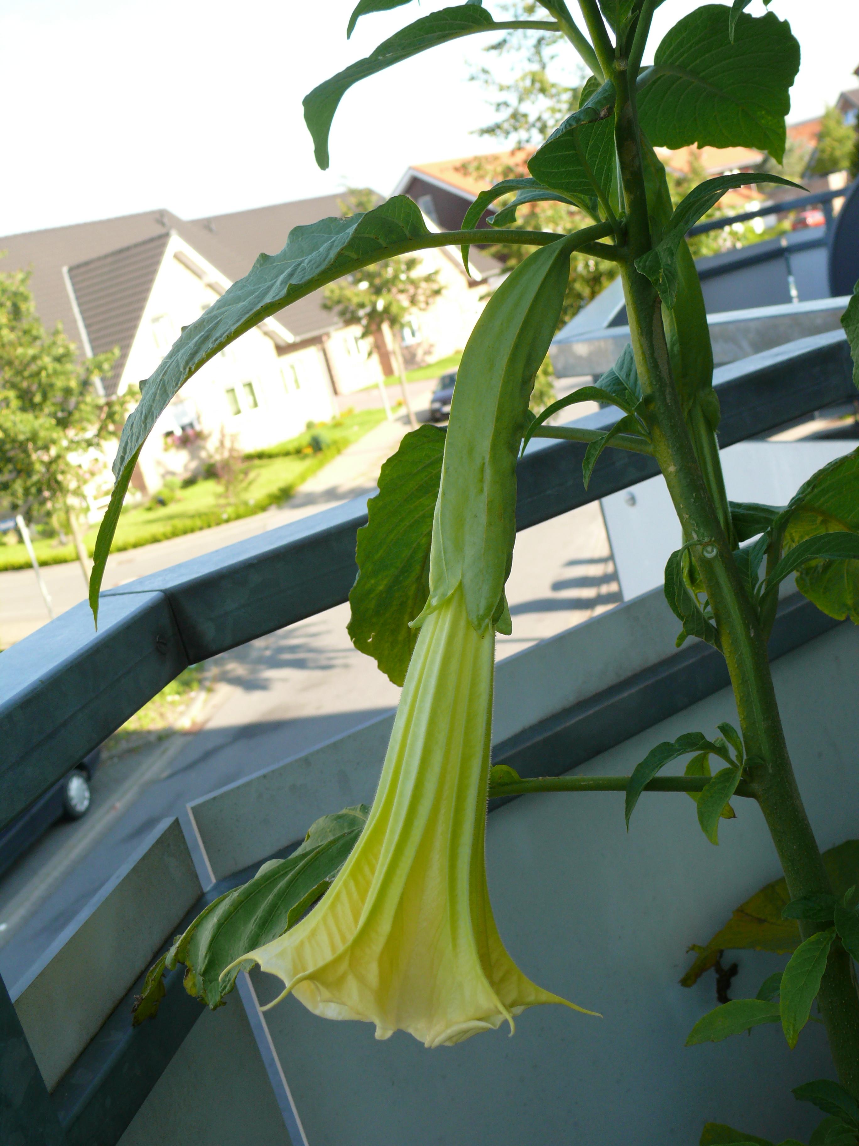 Auf meine Spitzpaprikapflanze bin ich ziemlich stolz, anscheinend hat sie  nen idealen Standort und trägt schon recht dicke Paprikas    0177998e861e